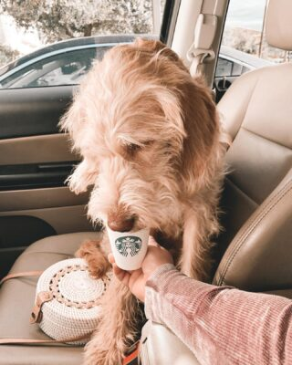 It's pupaccino o'clock over here. Good morning to you all. Today I'm going to go in depth about why I am deleting my Instagram account with over 6,000 followers. So stay tuned if you'd like.   #dogsofinstagram #dogsofinsta #puppiesforall #puppylove #pupaccino #starbucks #lovemydog #dogsarelove #fourleggedcreature  #jeepdog #dogsinjeeps #nationalpuppyday  Edited with: @pinkpapayaapp  Handbag is: @amerii  My arm is a: @chaserbrand sweatshirt Finn is: Love ❤️
